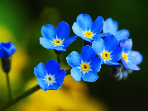 Forget-Me-Not-flower-blue+(1)