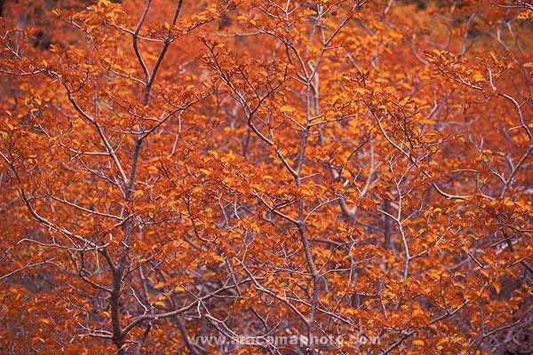 Red Autumn leaves, Lenga forest at Huerquehue National Park, Chile