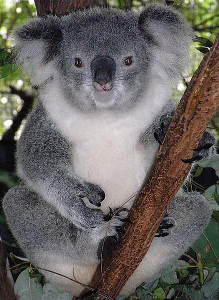 Australian-Koala-Bear